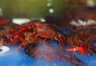 阿里:盒马将从湖北采购价值10亿元的小龙虾