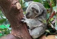 考拉爬树TV推考拉直播爬树 邀请网友给考拉喂桉树叶
